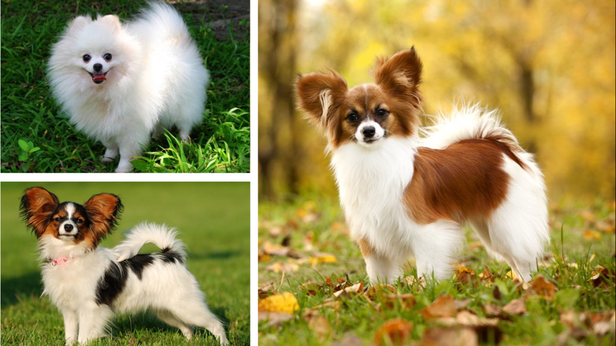 PapiPom (Pappilon mix with Pomeranian)