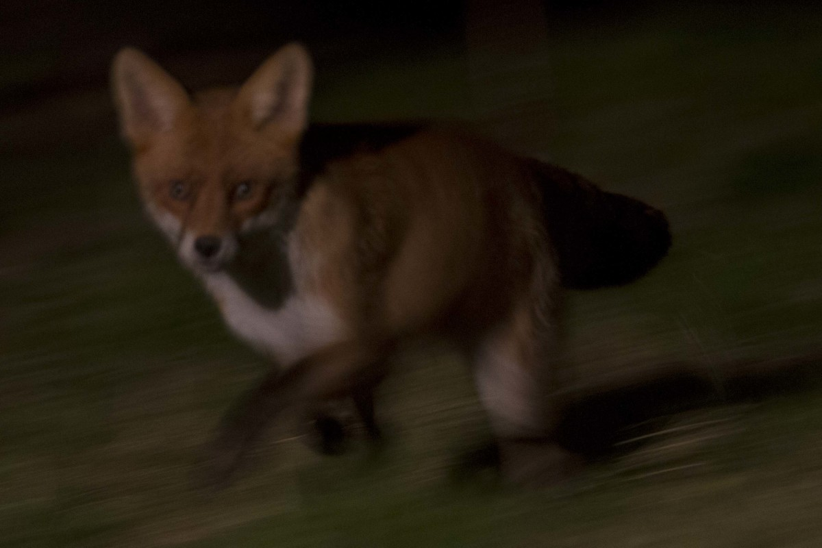 British Urban Fox passing through the garden