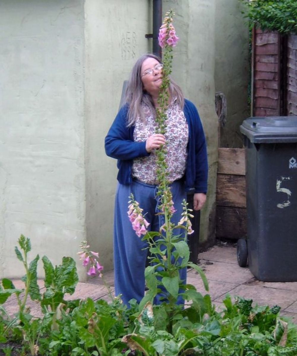 Foxglove in Medieval Garden