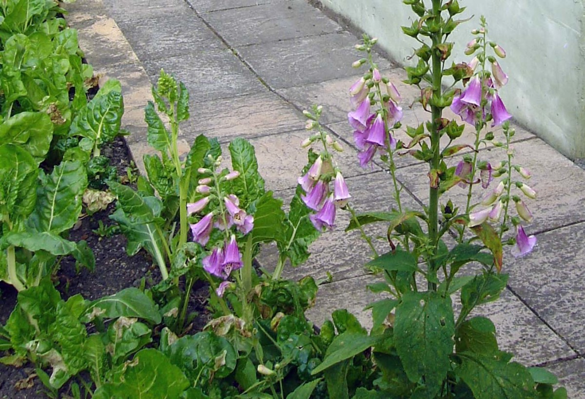 Foxglove in the vegetable garden