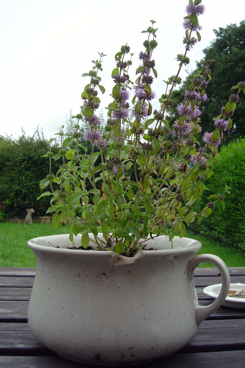 An old chamber pot posing as flowers pot