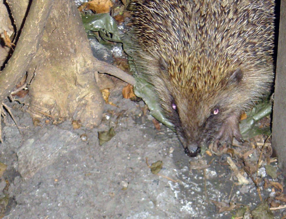 Hedgehog visiting the garden