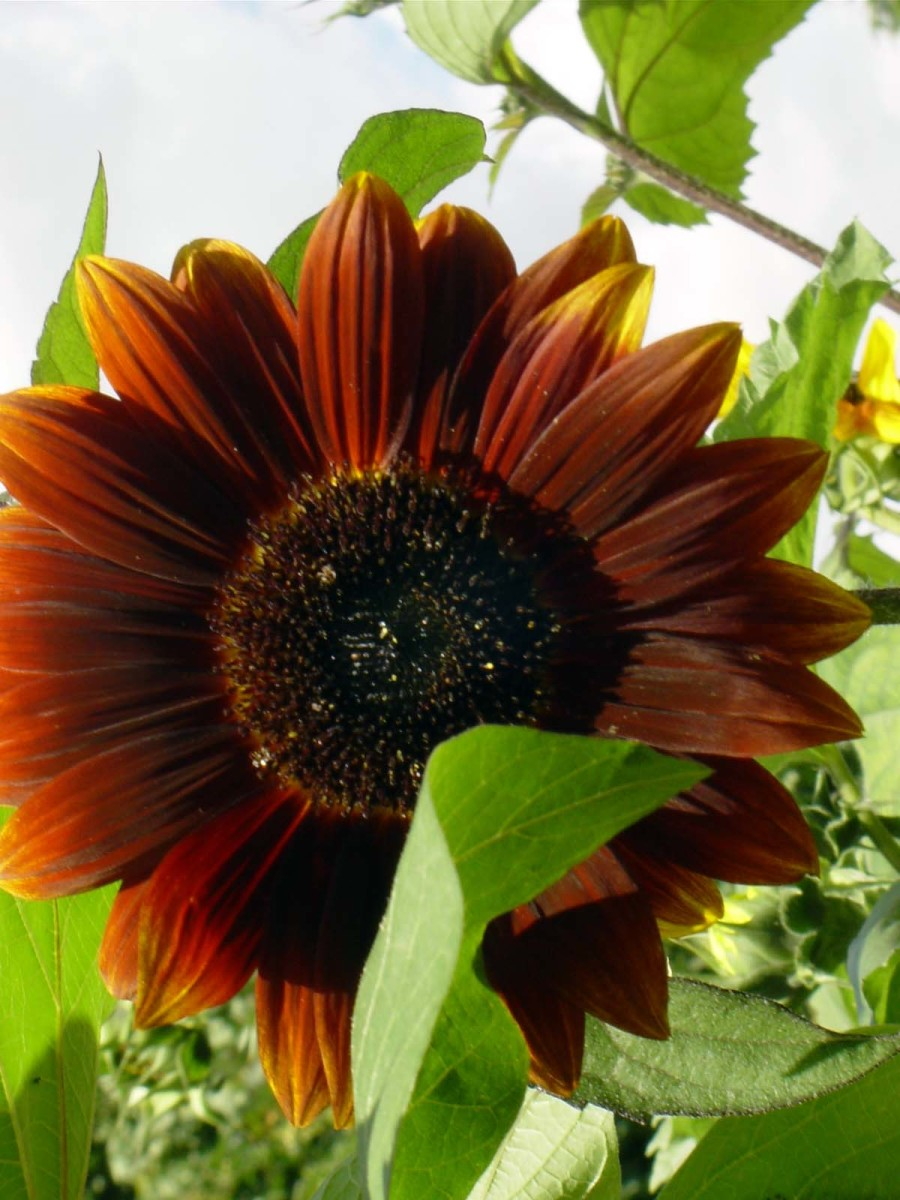 Sunflower in Organic Garden