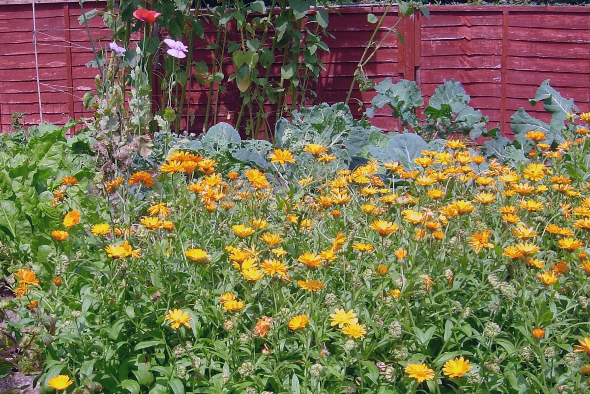 Pot Marigolds in organic garden