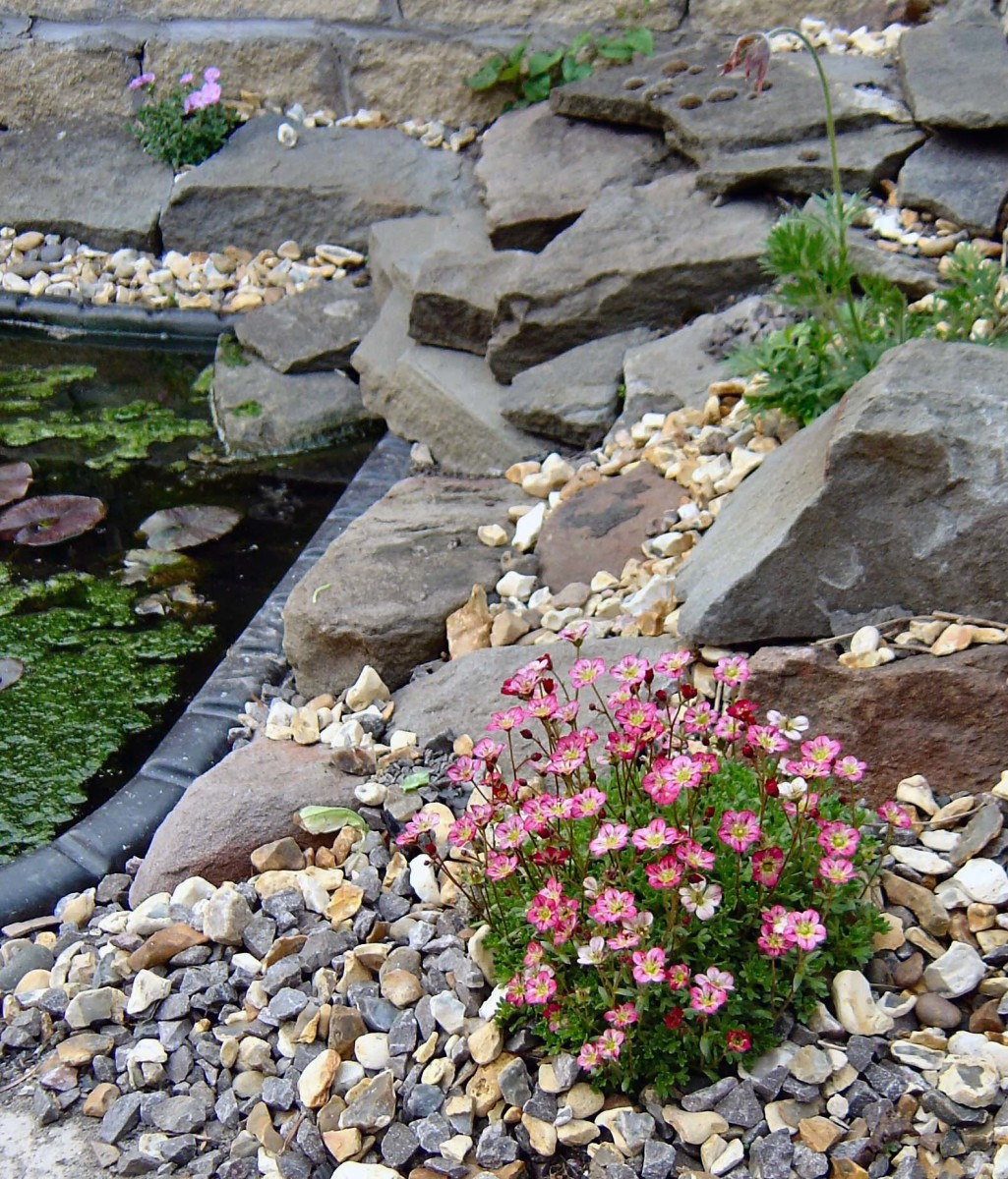Alpine plants next to the wildlife pond