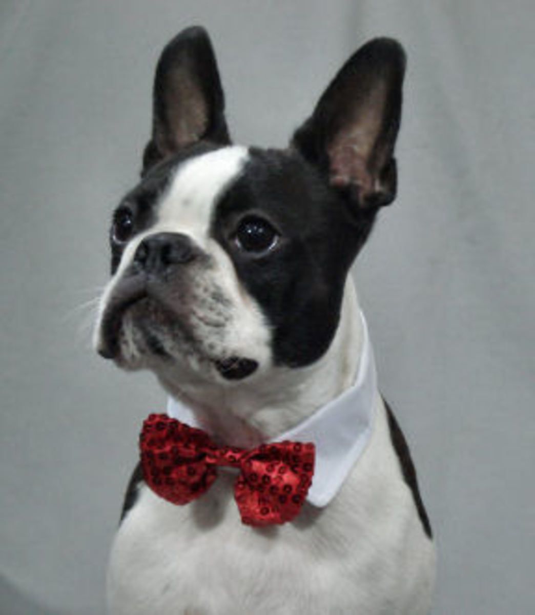Booker the Boston Terrier