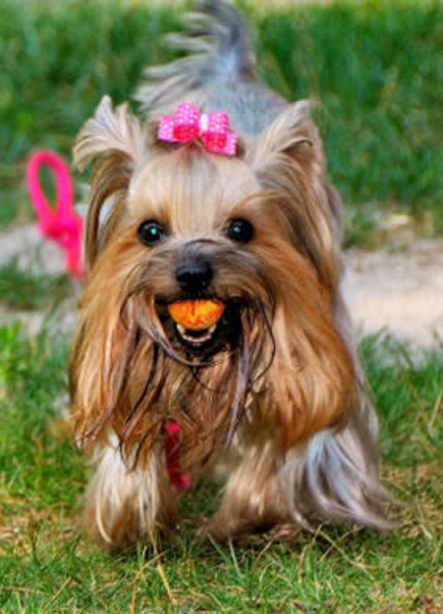 Katie the Yorkshire Terrier