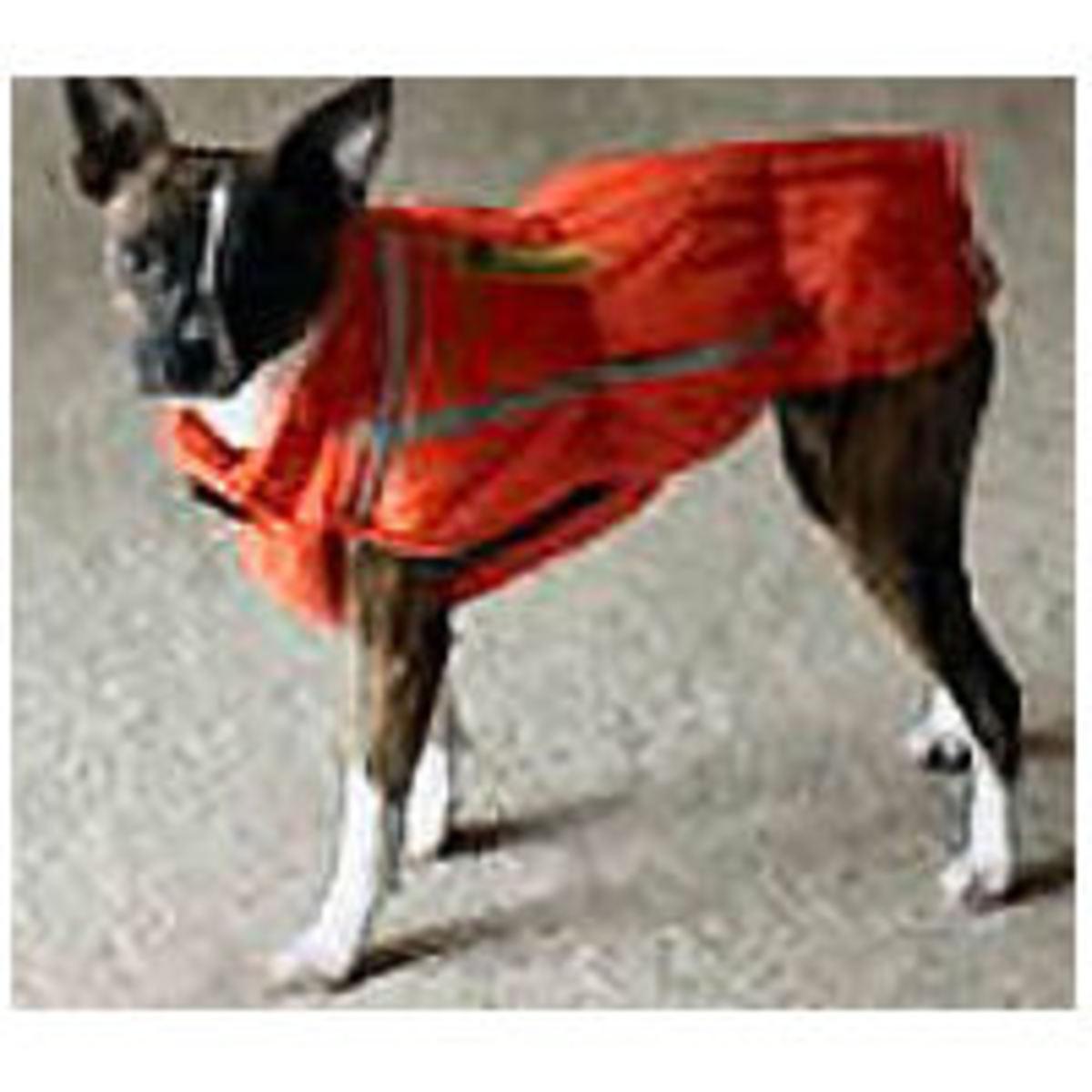 Koko the Italian Greyhound