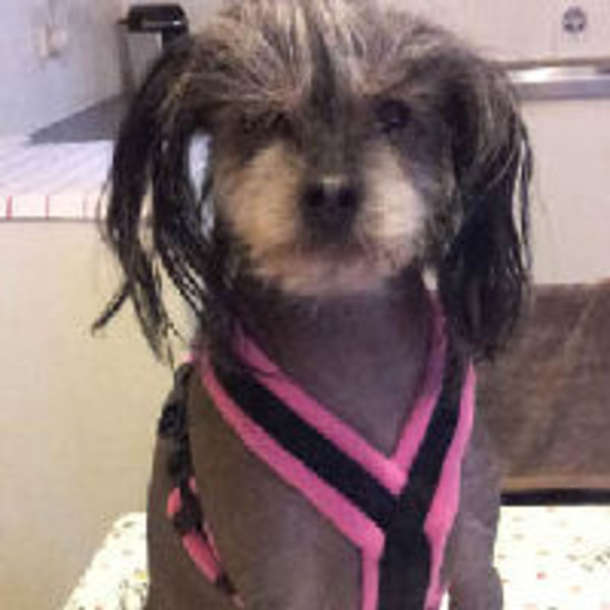 Alice the Chinese Crested