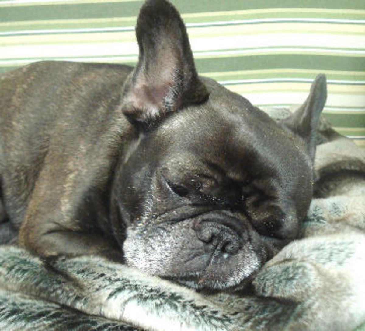 French Bulldog Dax