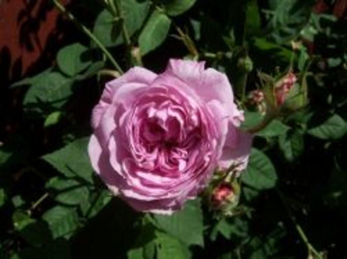 Remember Cynthia Rose