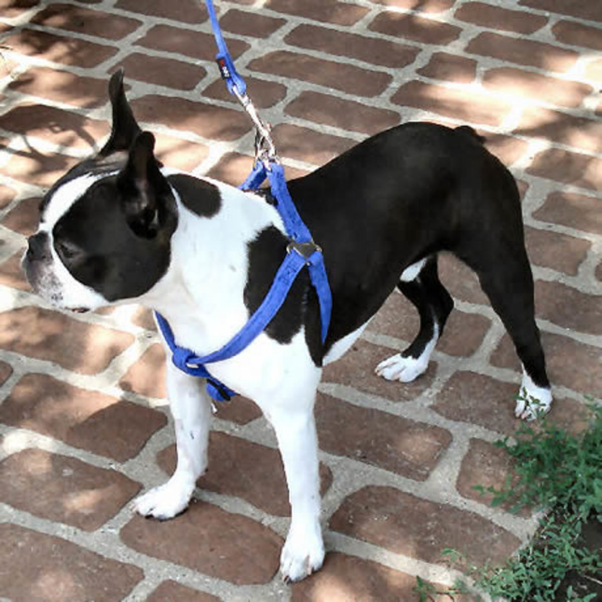 Booker (Boston Terrier) in the Microfiber Step-in Harness