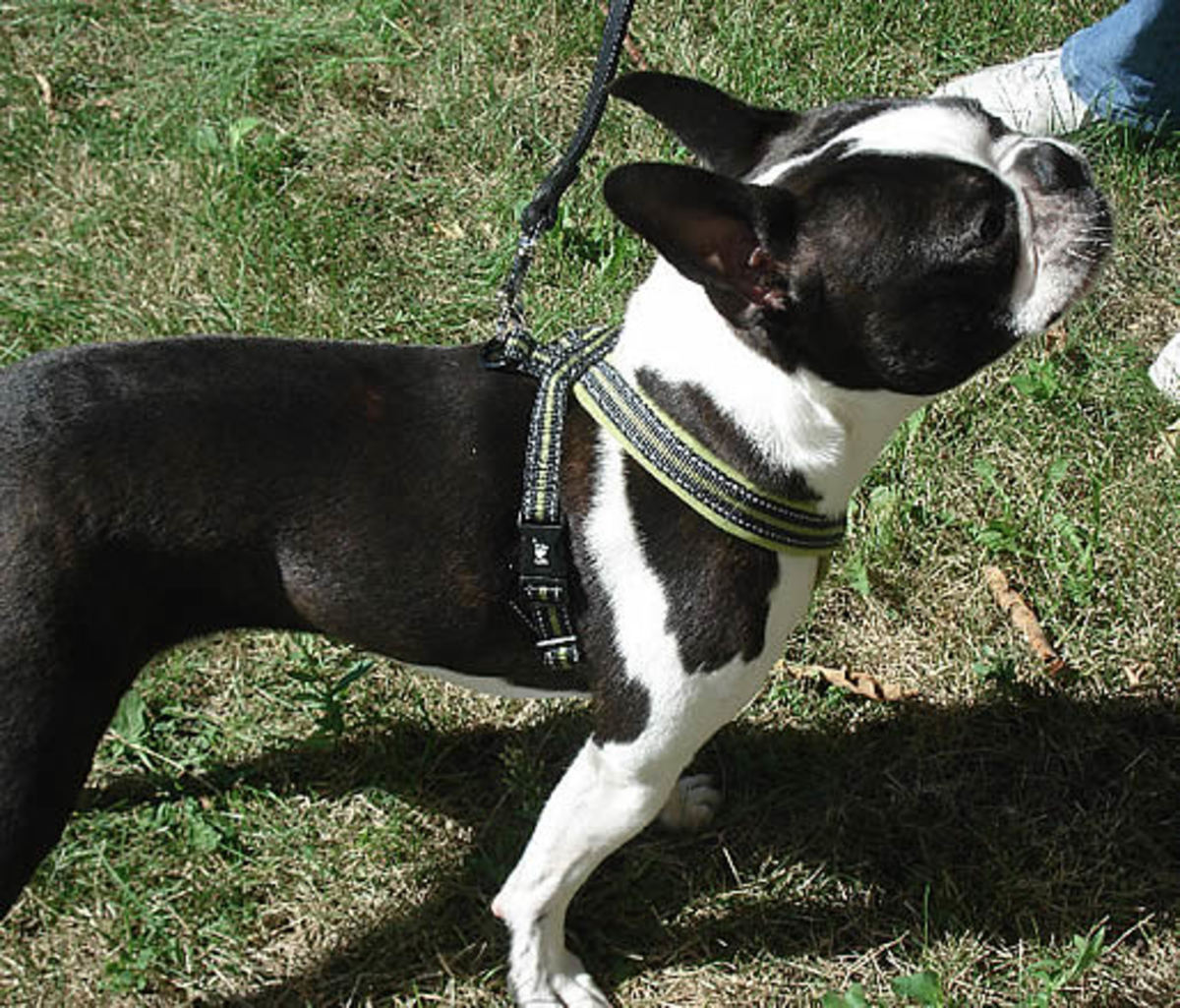 Booker (Boston Terrier) shows off the Padded Y-Harness from Hurtta.
