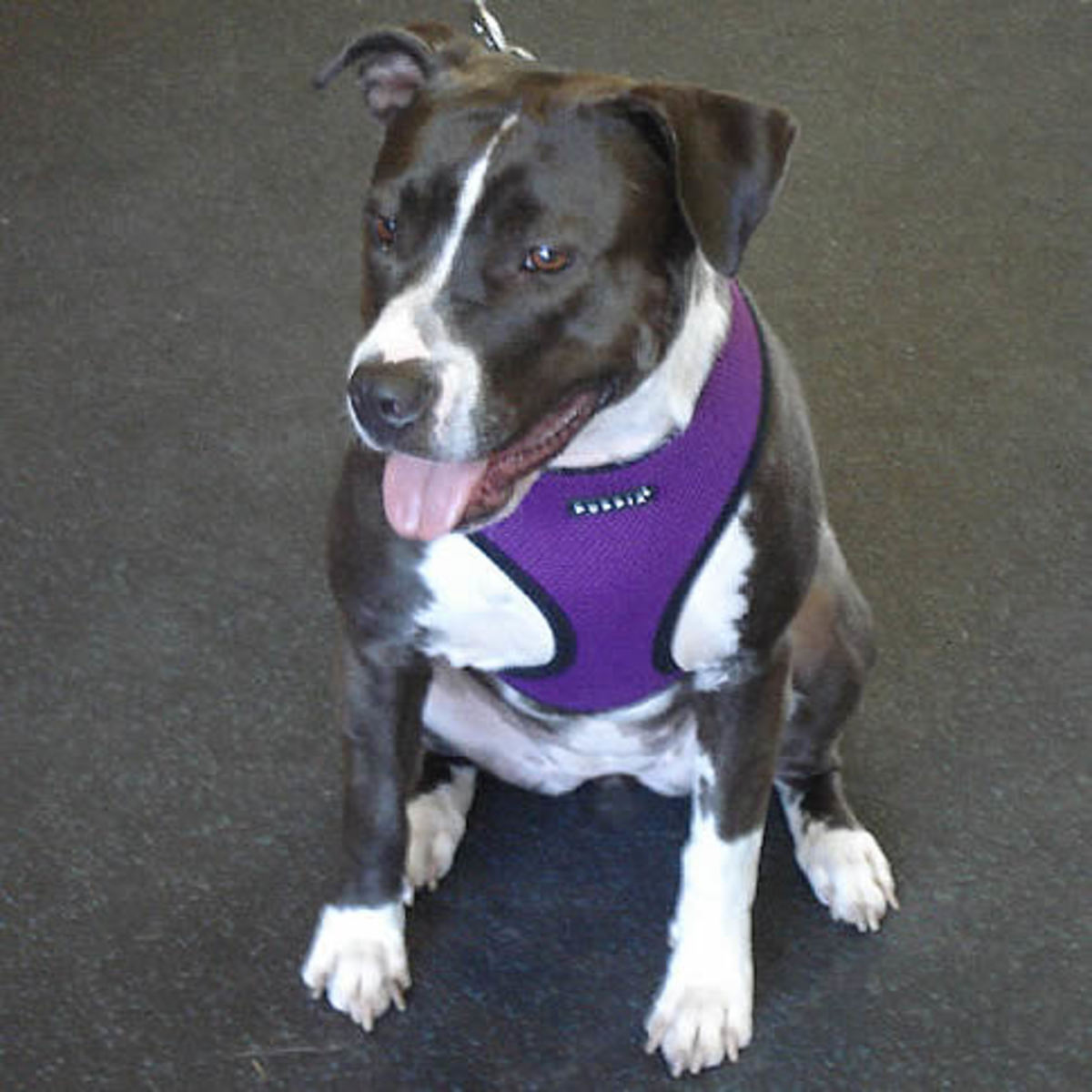Keesha (Pit Bull) in the Puppia Soft Harness
