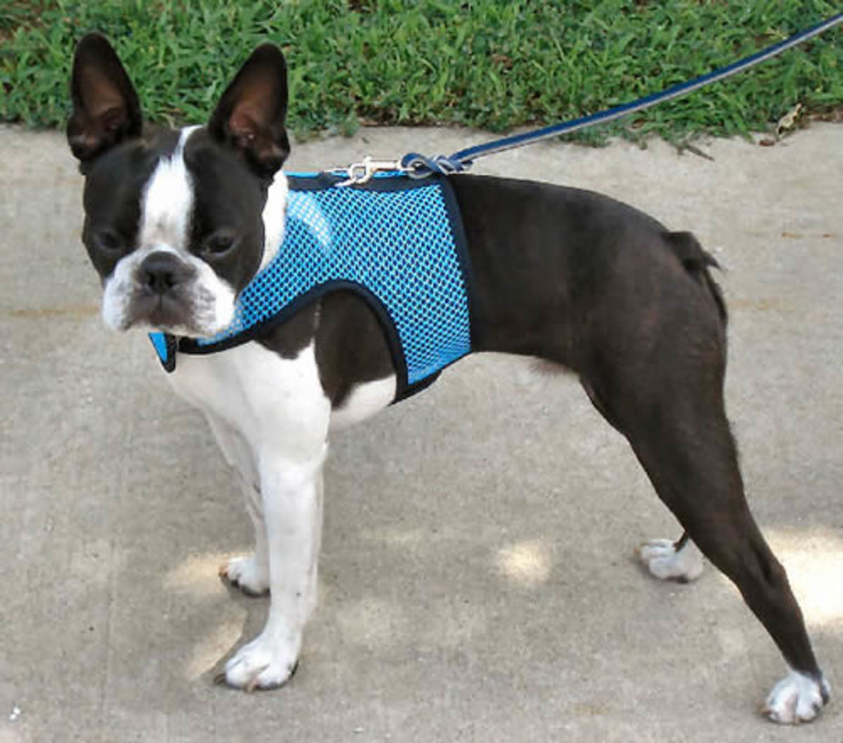 Booker (Boston Terrier) in the Wrap-n-Go Harness