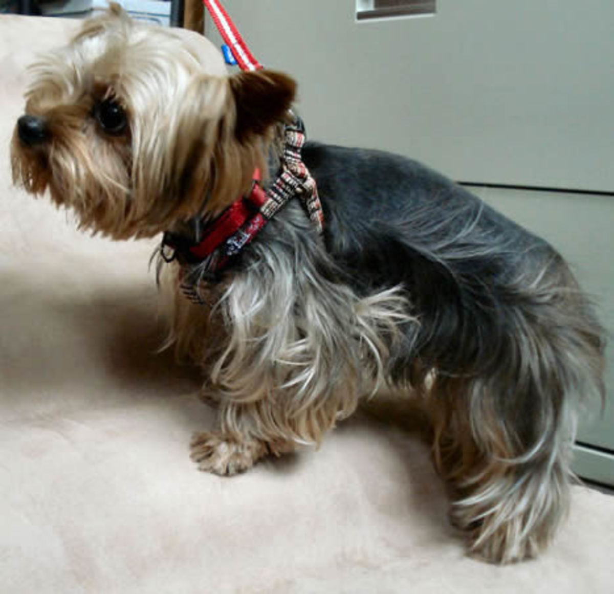 Jack (Yorkshire Terrier) in the Plaid Step-in Harness