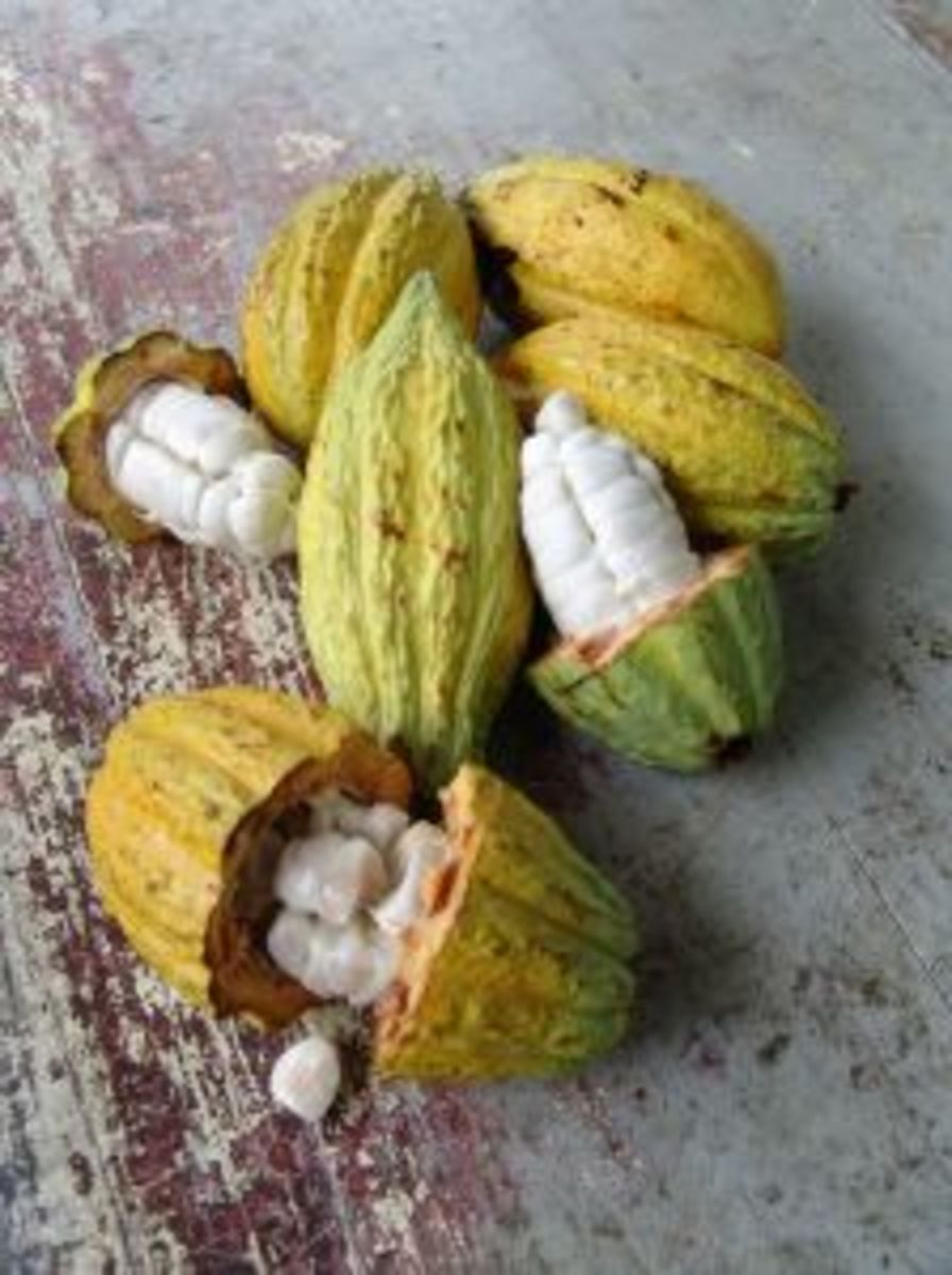 Cacao fruits.