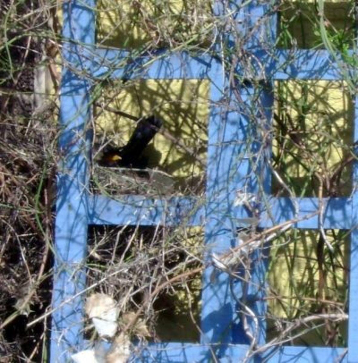 Keeping The Blackbird Eggs Warm