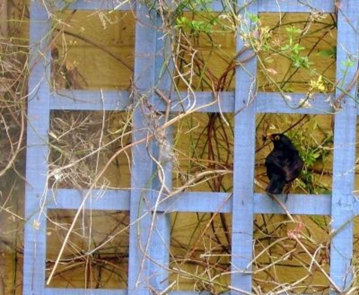 Feeding Many Blackbird Chicks