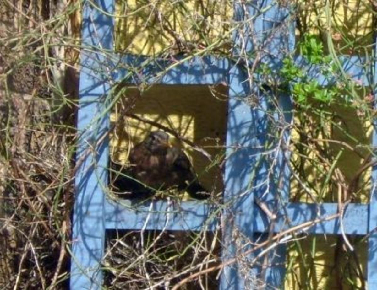Nesting Blackbird Mum With Eggs