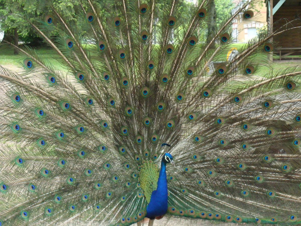 Peacock at Chateau de Valençay