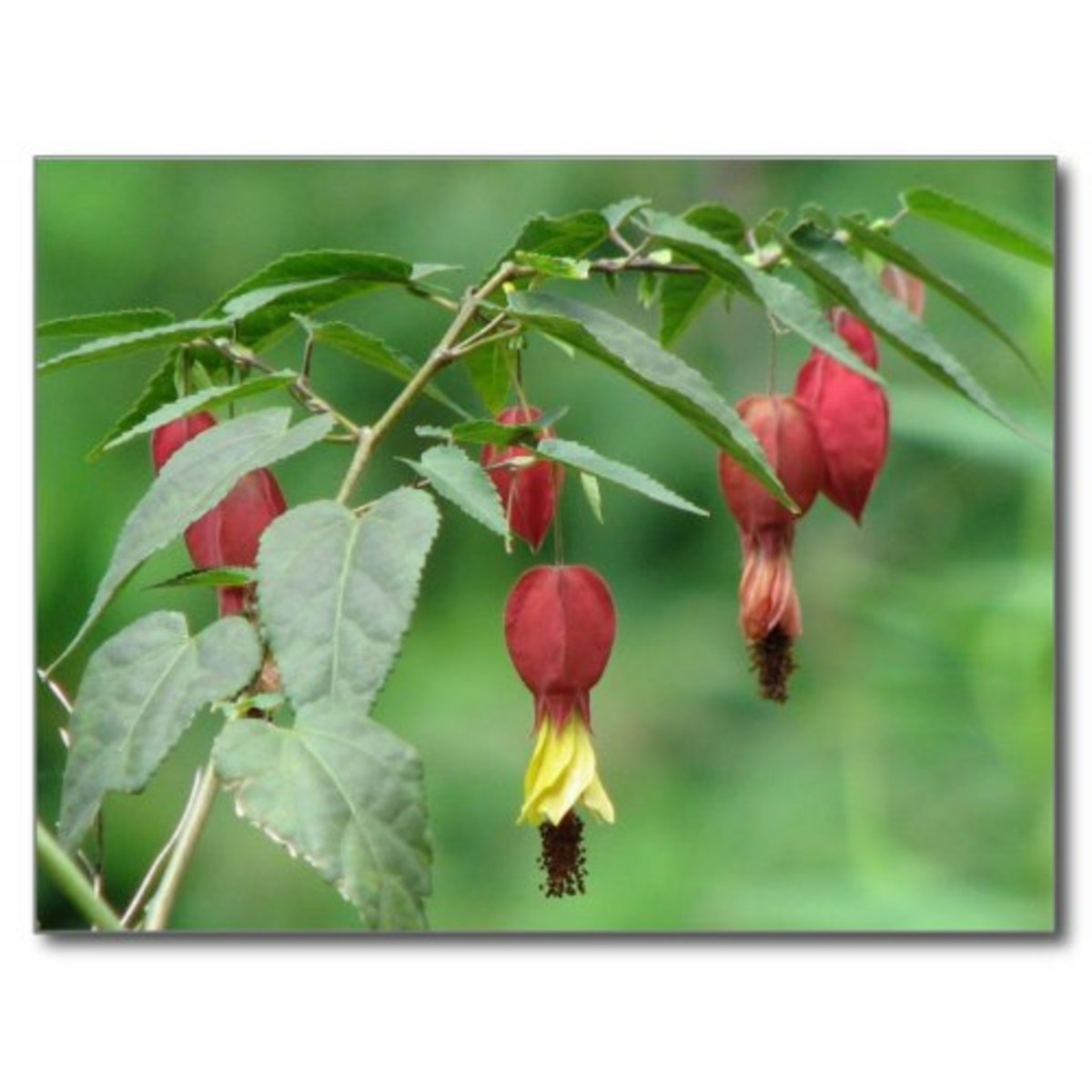 """Little Imp"" abutilon is a small, draping plant with rich nectar. It like moist soil and part shade."