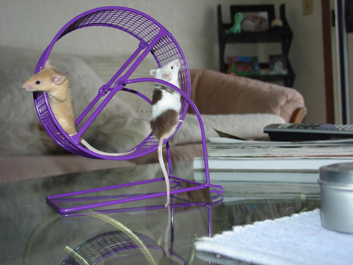 Fancy Mice Love To Run