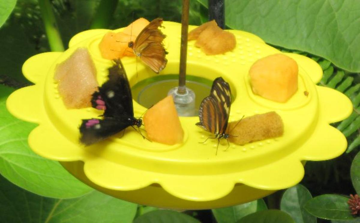 Three Butterflies feeding from a nectar dish