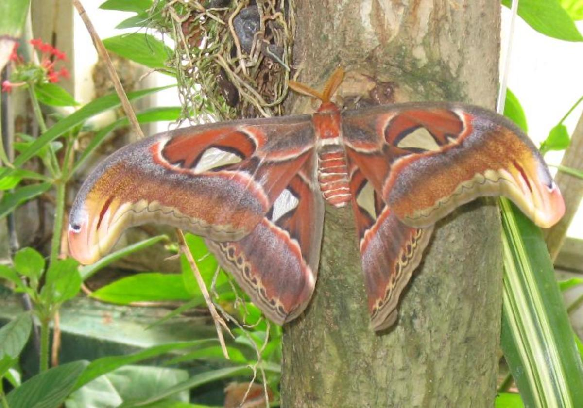 An Atlas Moth at Tucson Botanical Gardens