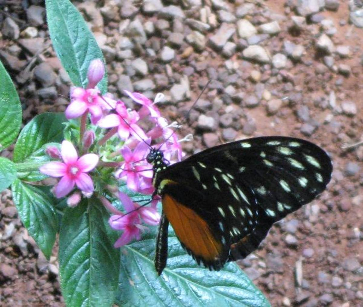 Closeup Photo of Monarch Butterfly drawing nectar from a flower