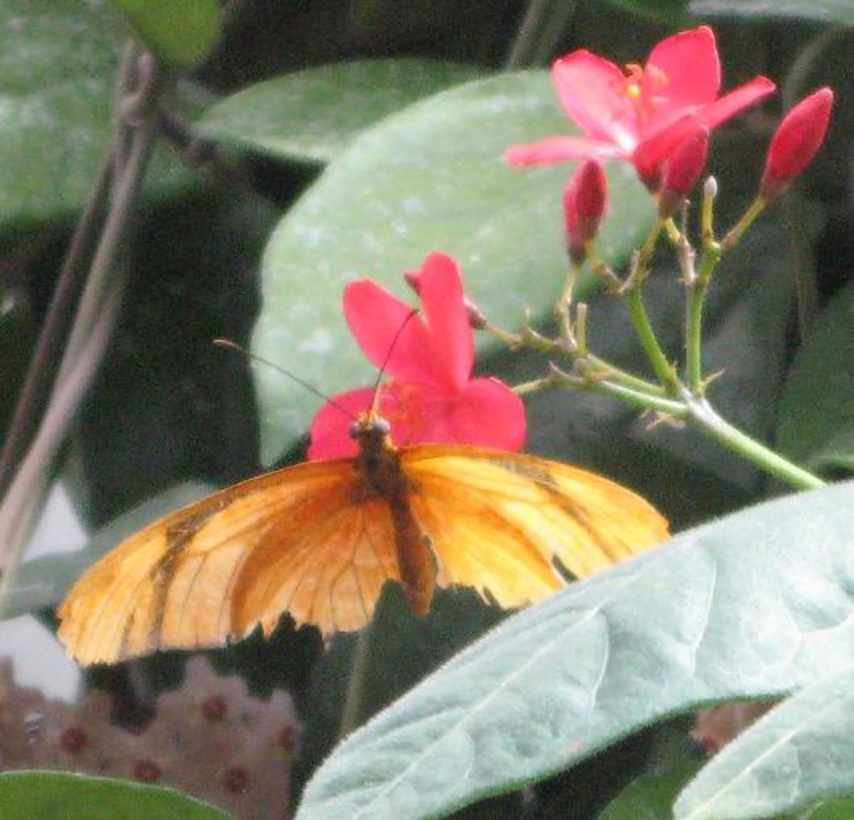 Orange Butterfly feasting on a Red Flower