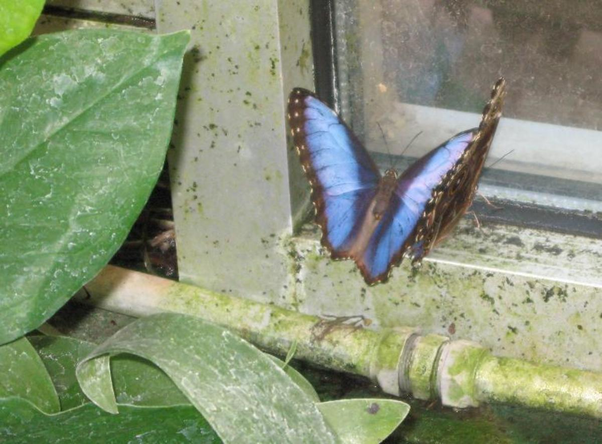 Blue Morpho Butterfly at Tucson Botanical Gardens