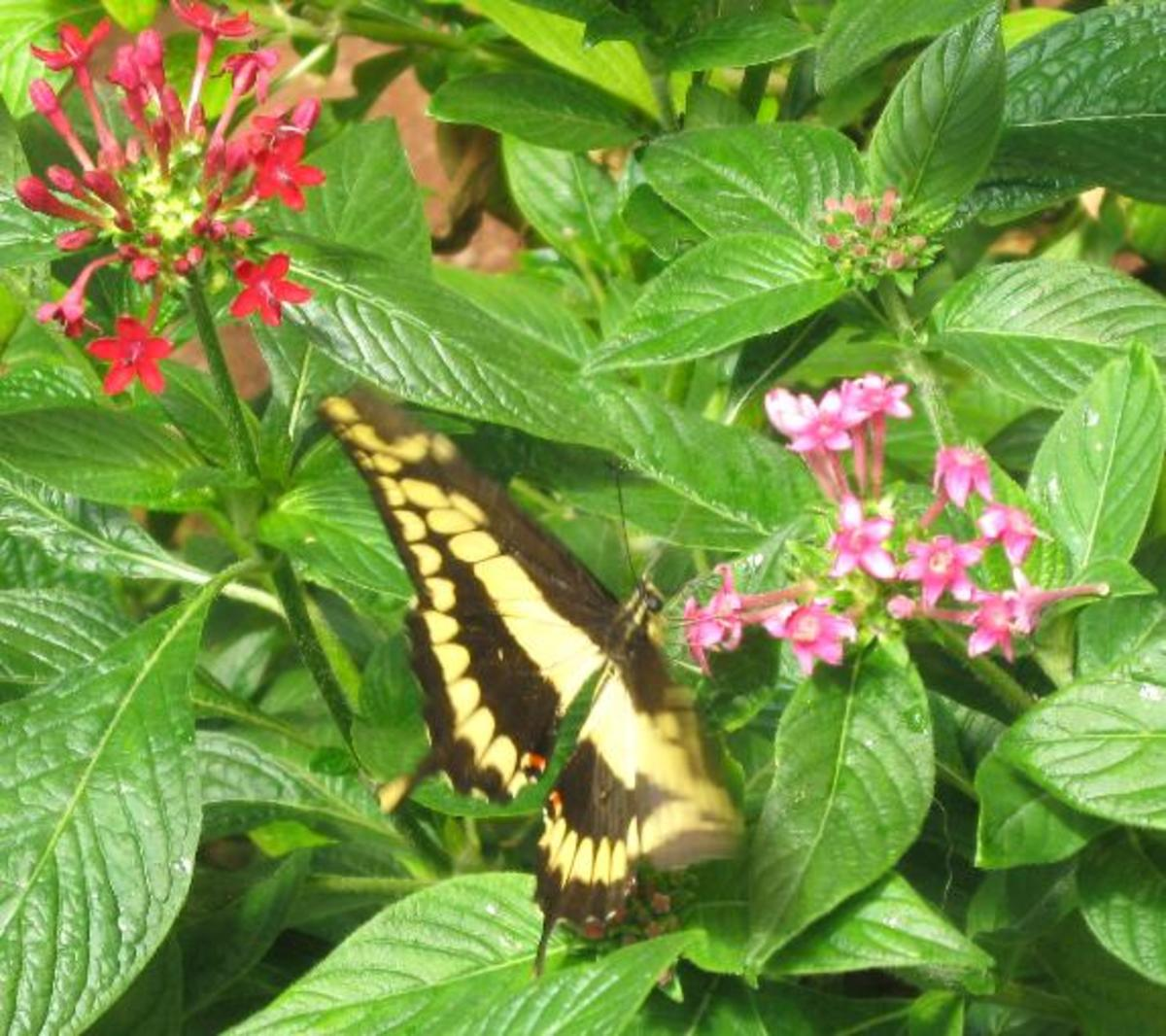 Thoas Swallowtail Butterfly feeding on nectar from flowers