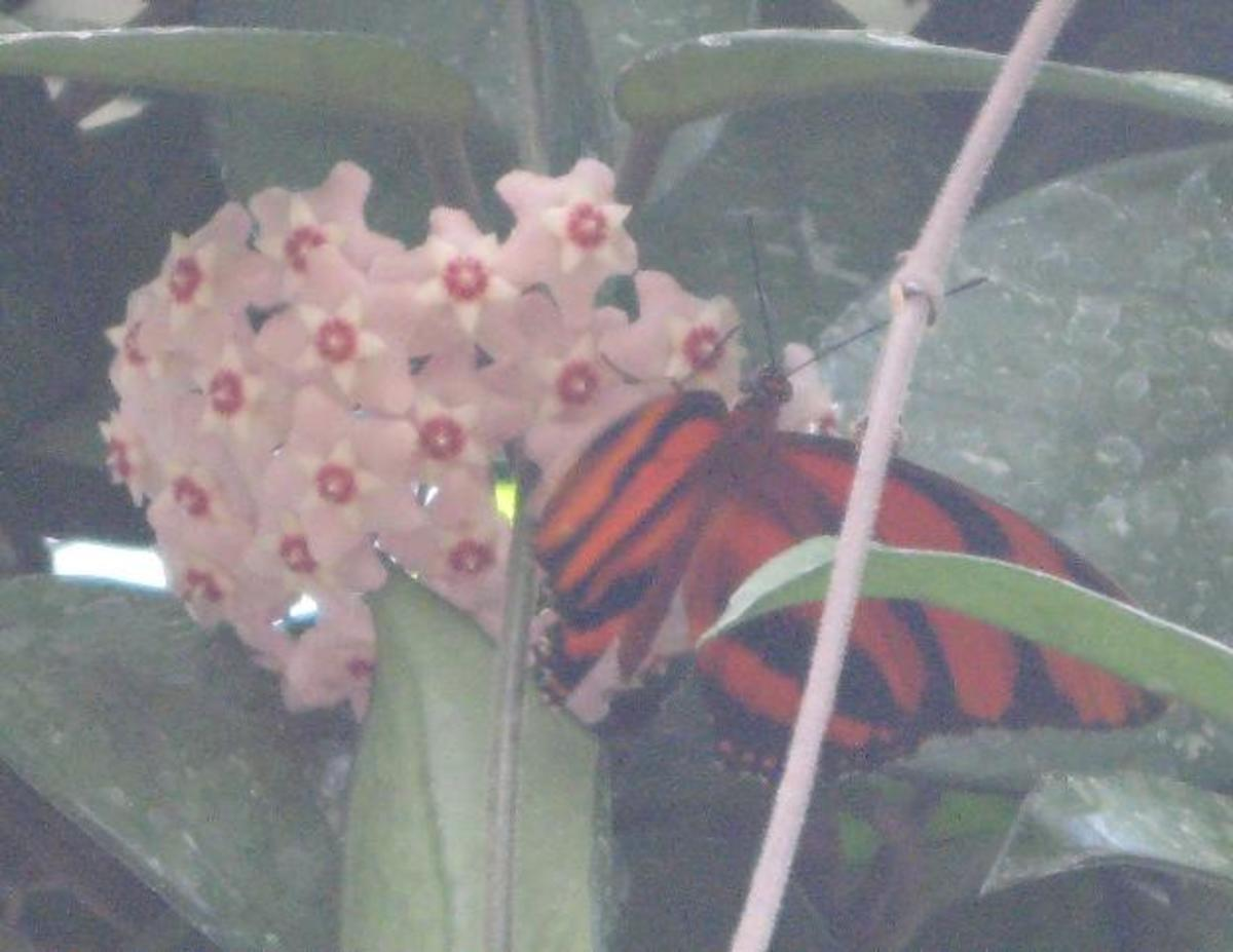 Banded Orange Butterfly feeding on a clump of small flowers