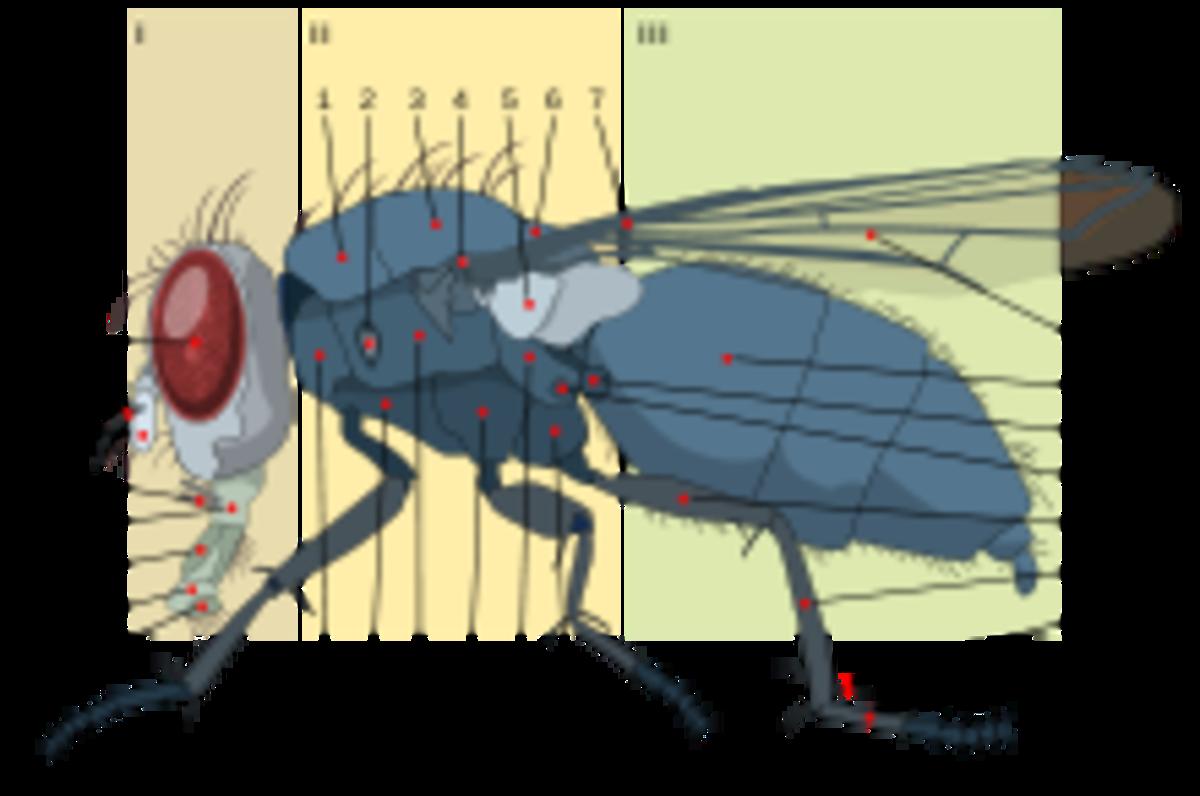 Anatomy of a Housefly