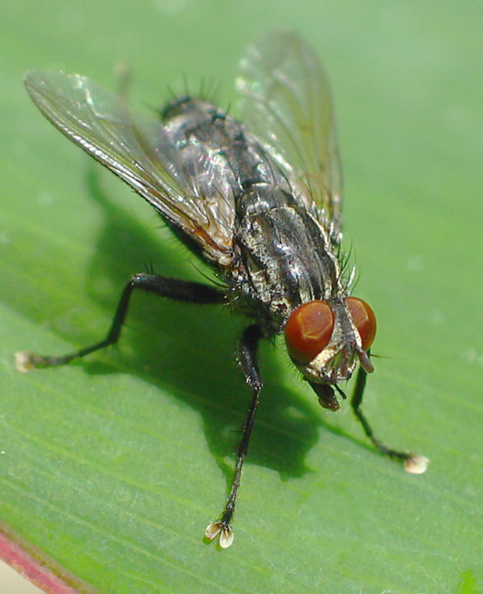 House Fly on leaf
