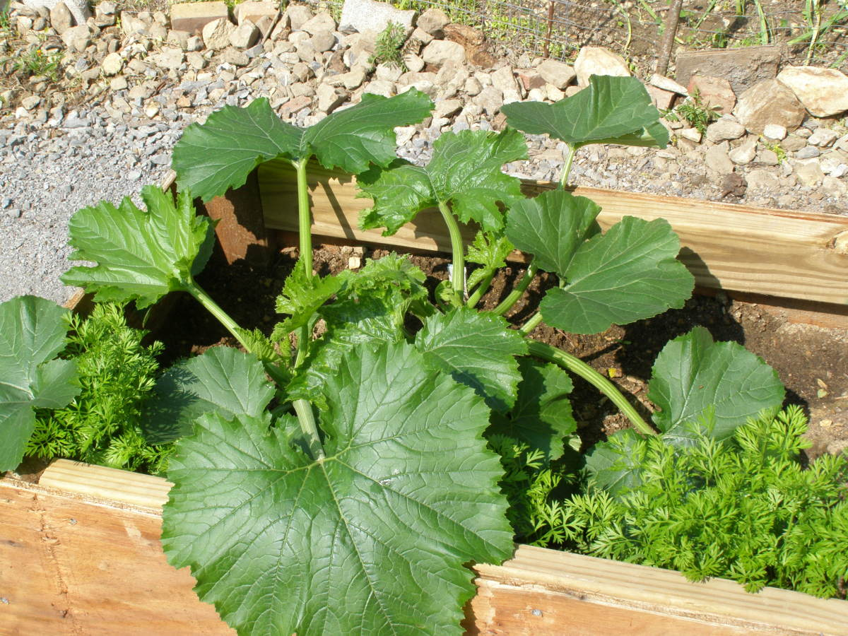 Large squash leaf is a suitable mold. You could also use a leaf from an elephant ear, sunflower, or rhubarb plant, or smaller leaves for smaller castings.