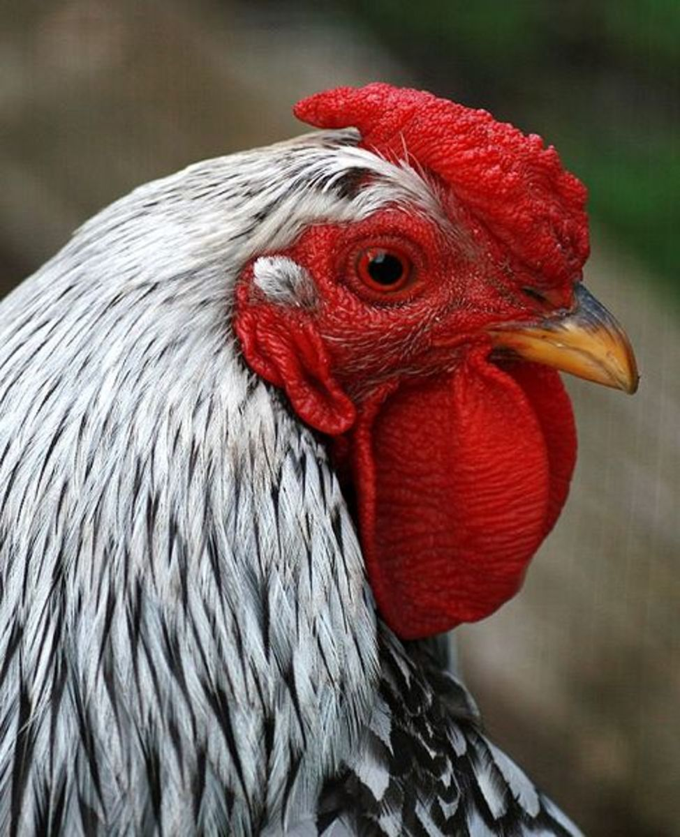 Pea Comb Rooster
