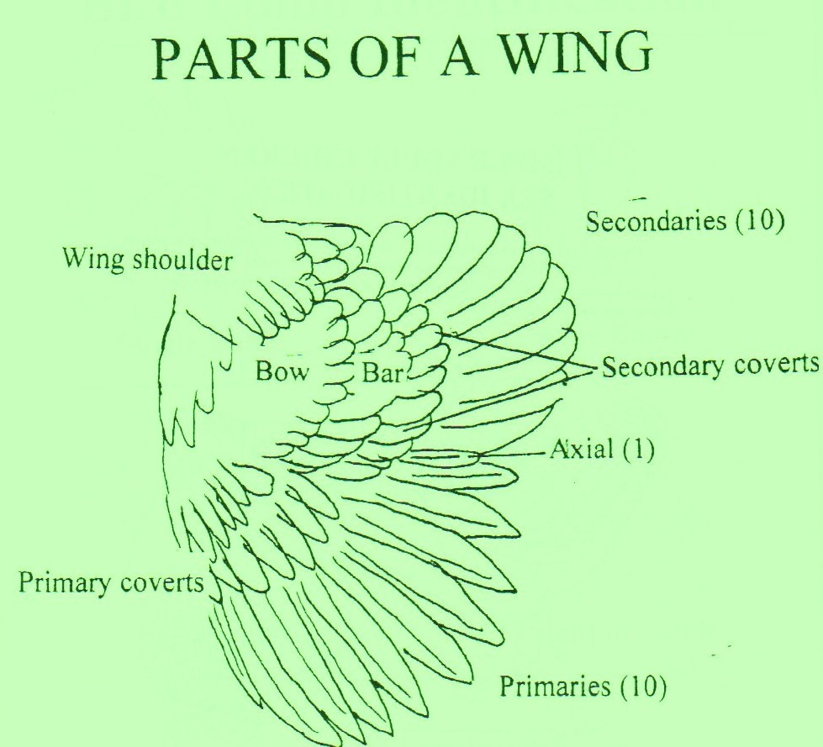Parts of a rooster wing
