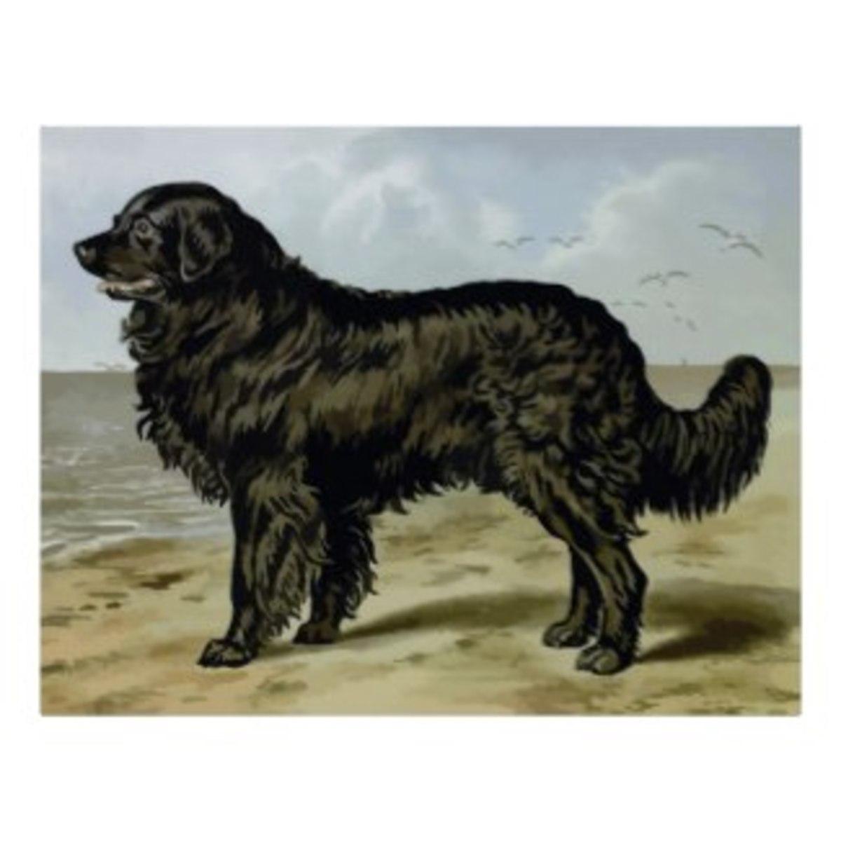 Art print showing a classic Newfoundland dog.