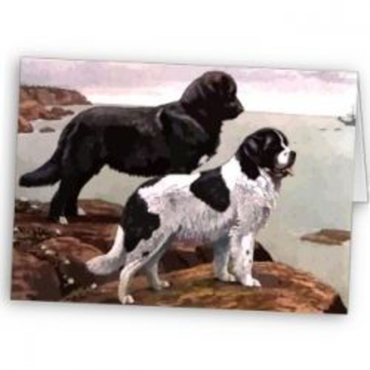 Two of the colors seen in Newfoundland dogs.