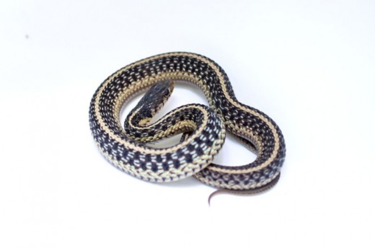Ribbon and Garter Snakes
