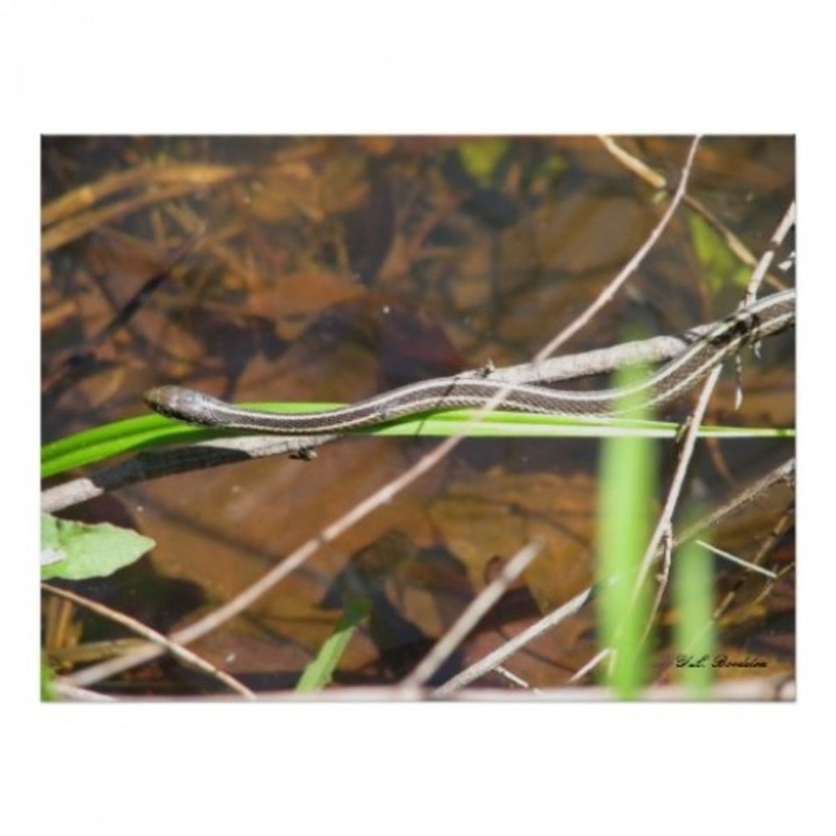 This young ribbon snake was hunting for frogs around our pond in Southeastern Louisiana.