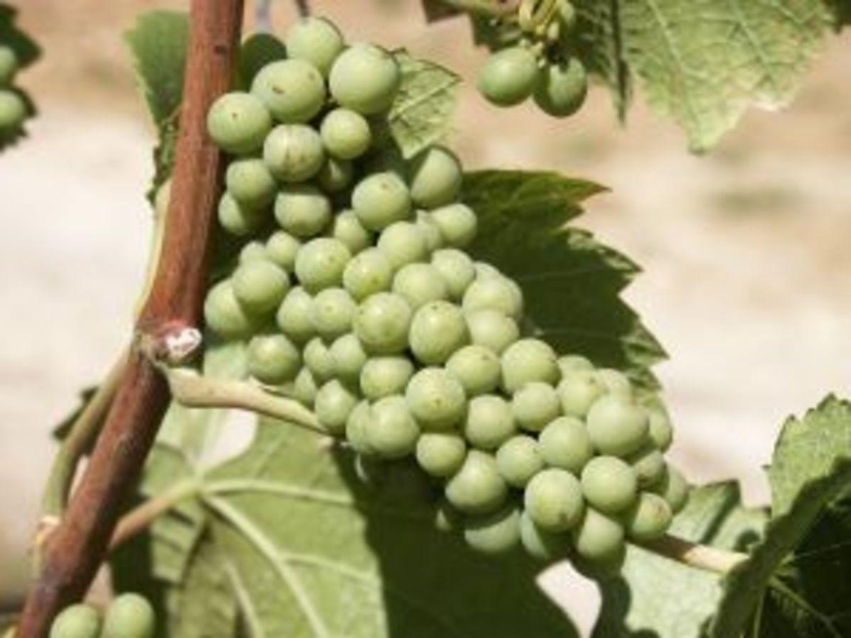 White grapes.