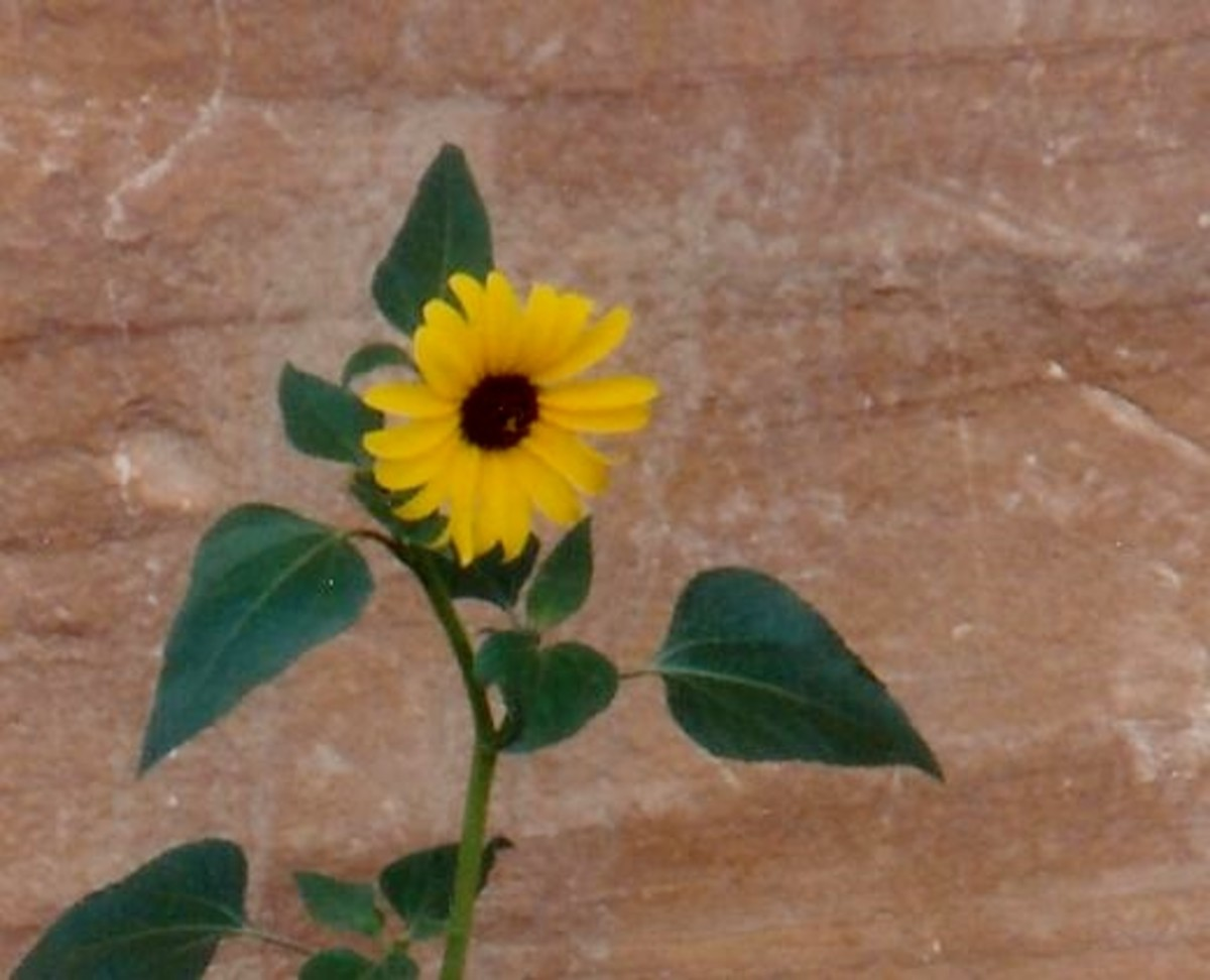 Desert sunflower near the petroglyphs