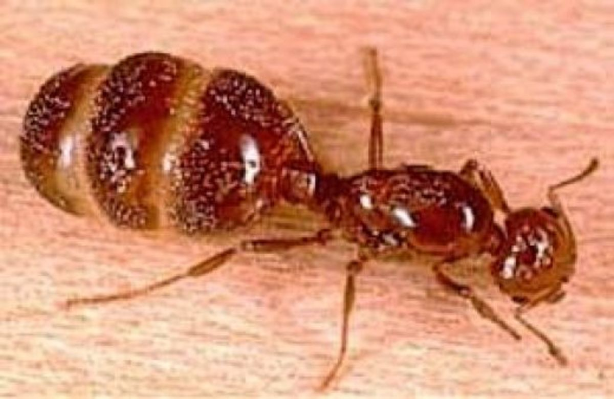 This is the Queen Fire Ant And Your Worst Enemy