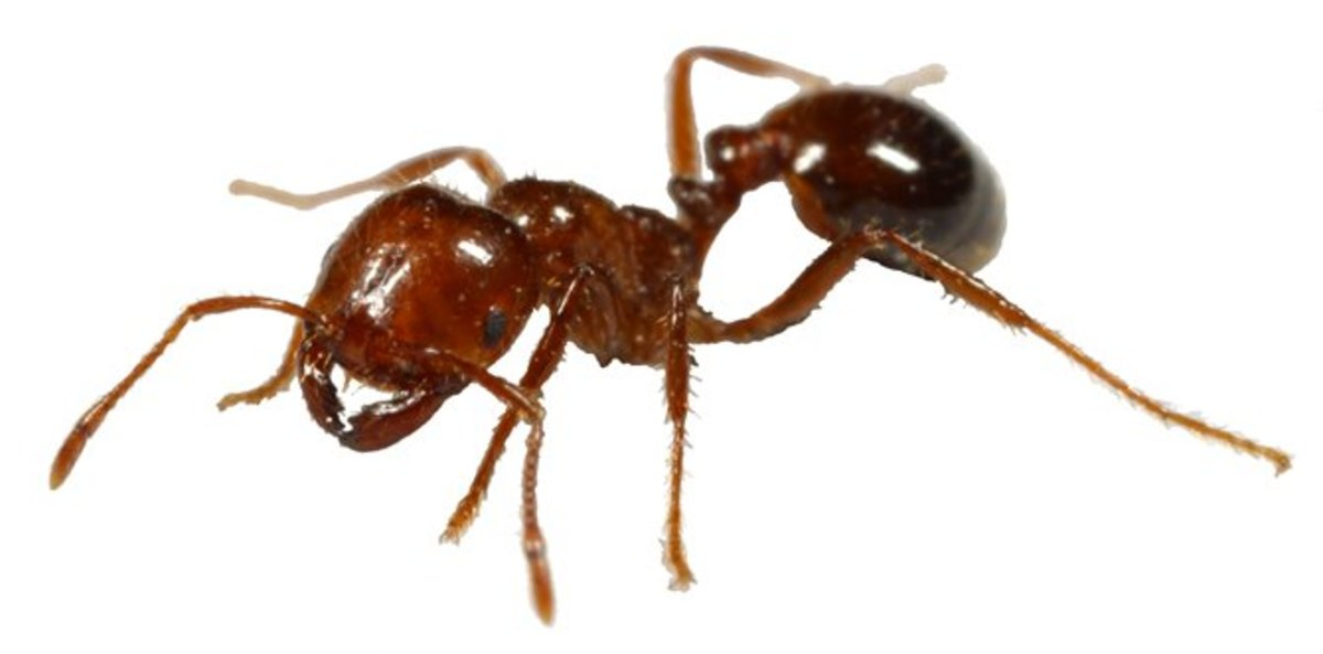Our Enemy The Fire Ant