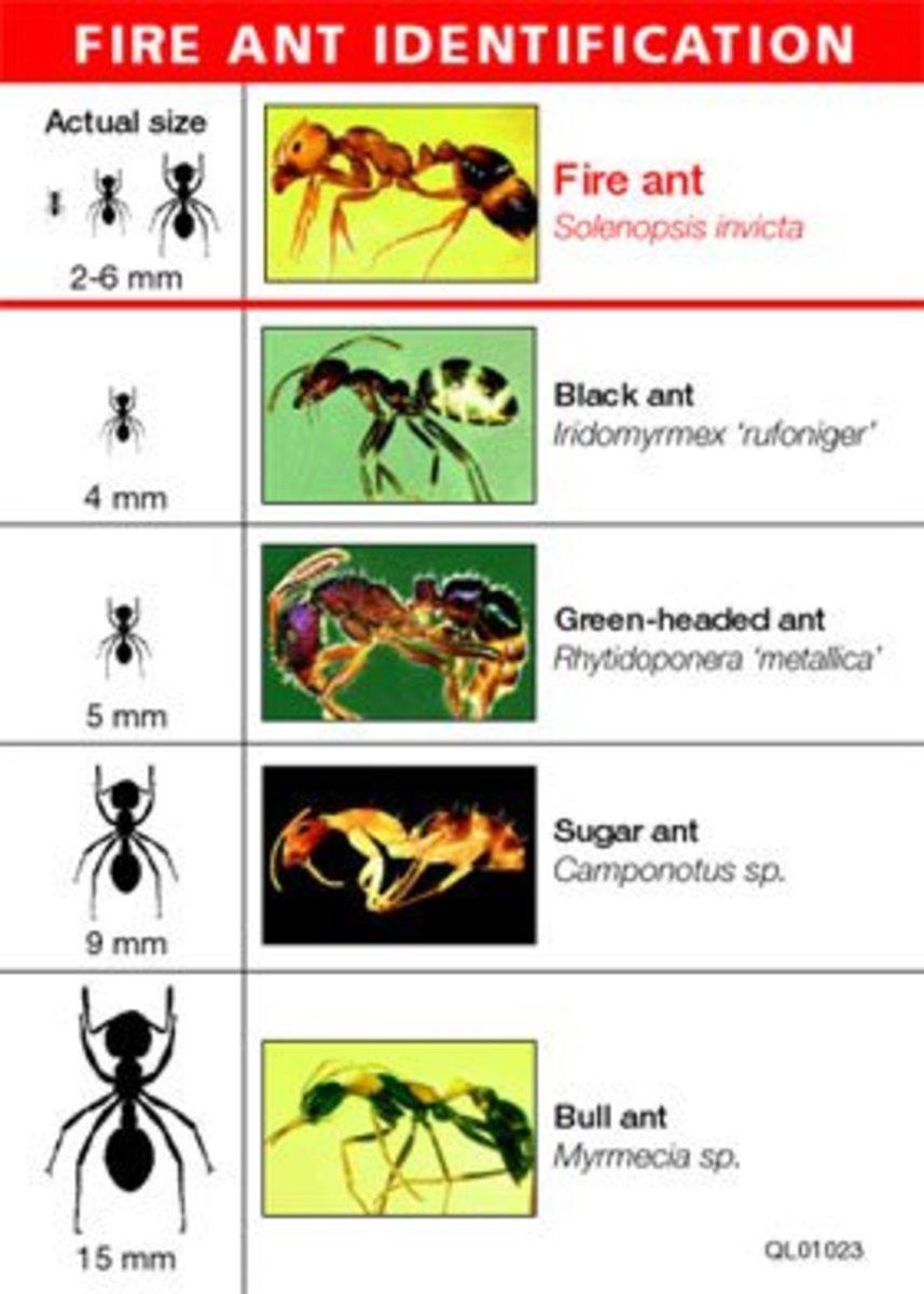 Ant Id Chart