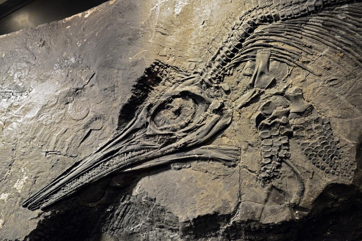 A fossilized ichthyosaur