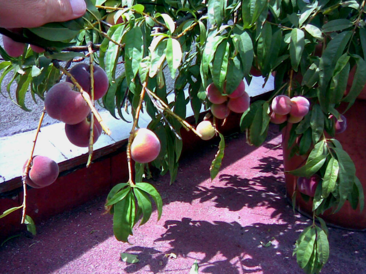 "Peaches grow aplenty, over 50, but only on alternate seasons.  During the ""rest season"", the tree grows about 10 fruits or so only.  And guess what? Yes, we eat them too!"